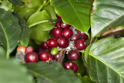 Кофе может пропасть спланеты Земля к 2080-ому году