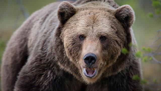 Пьяная медведица устроила переполох вселе Казакевичево Хабаровского края