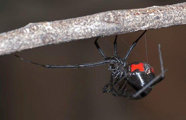 Ученые отыскали вирус сДНК черной вдовы